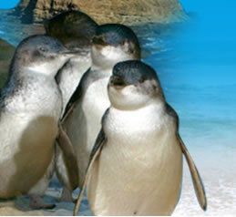 Phillip Island Penguin Parade - Accommodation Gold Coast