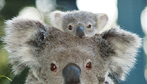 Billabong Koala and Wildlife Park - Accommodation Gold Coast