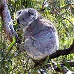 Koala Conservation Centre - Accommodation Gold Coast