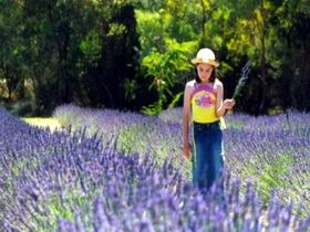 Brayfield Park Lavender Farm - Accommodation Gold Coast