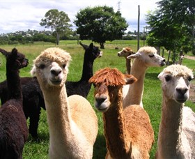 Banyandah Alpacas - Accommodation Gold Coast