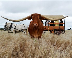 Texas Longhorn Wagon Tours and Safaris - Accommodation Gold Coast