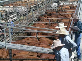 Dalrymple Sales Yards - Cattle Sales - Accommodation Gold Coast