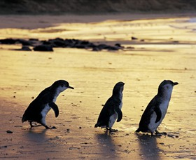 Phillip Island Nature Park - Accommodation Gold Coast