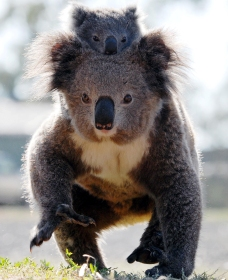 Koalas in Gunnedah - Accommodation Gold Coast